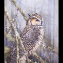 #1608 Great Horned Owl in Pine Tree